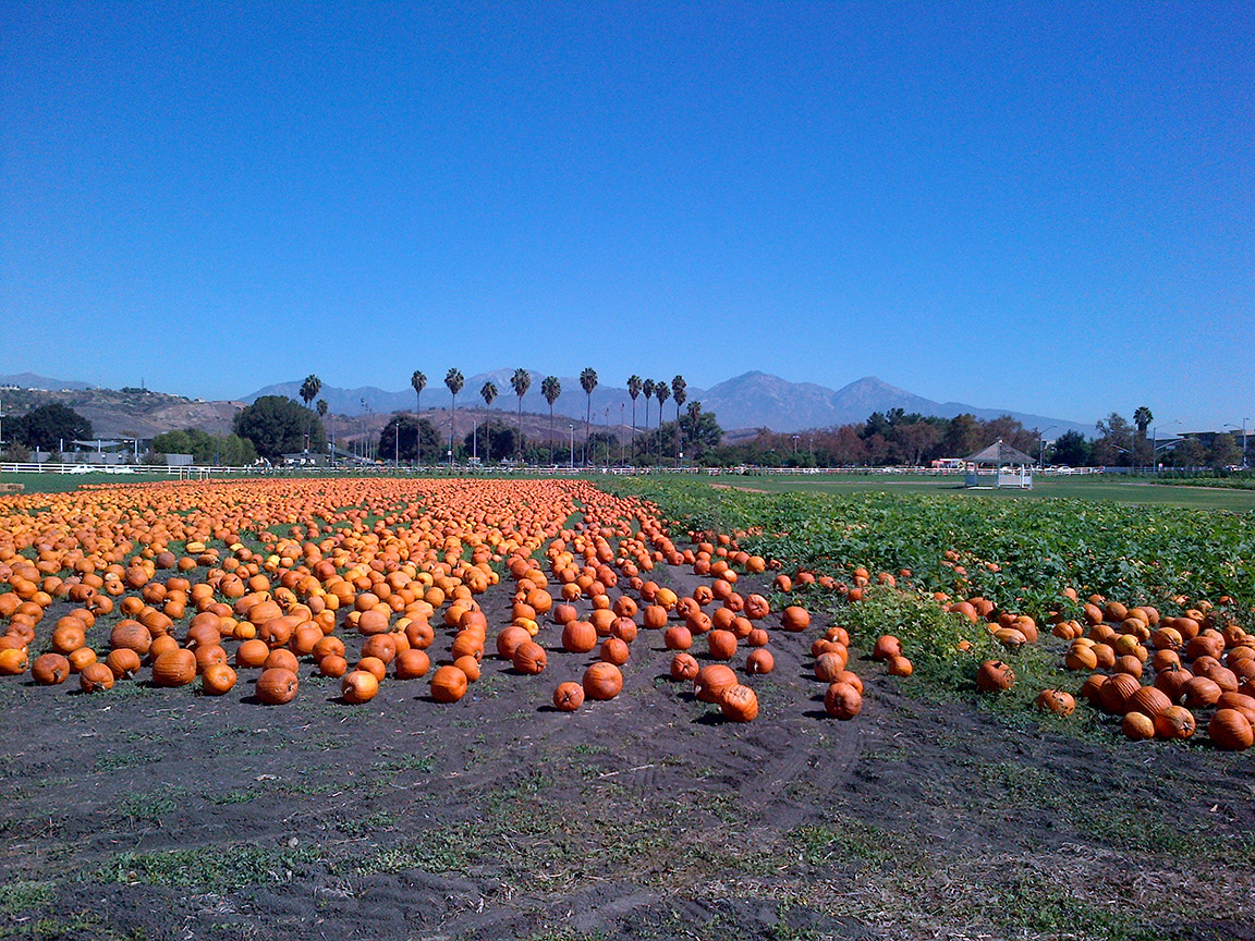 A pumpkin field