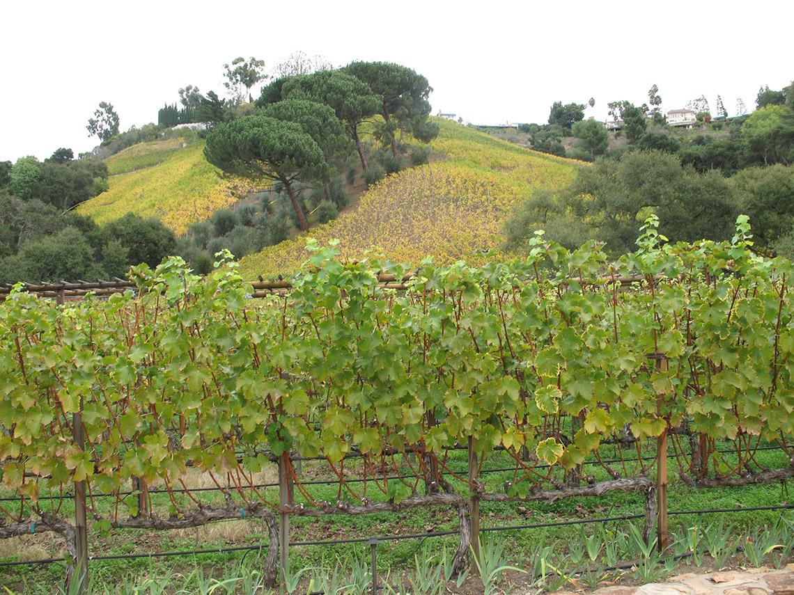 Luscious green vineyard