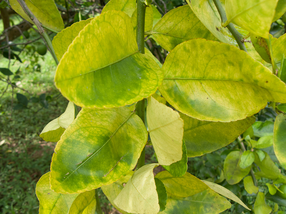 Leaves affect by asian citrus psyllids