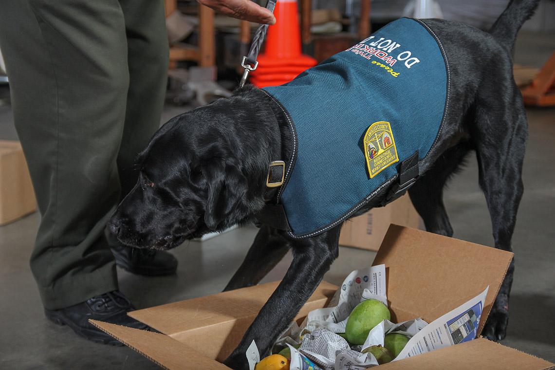 Black dog smelling fruits