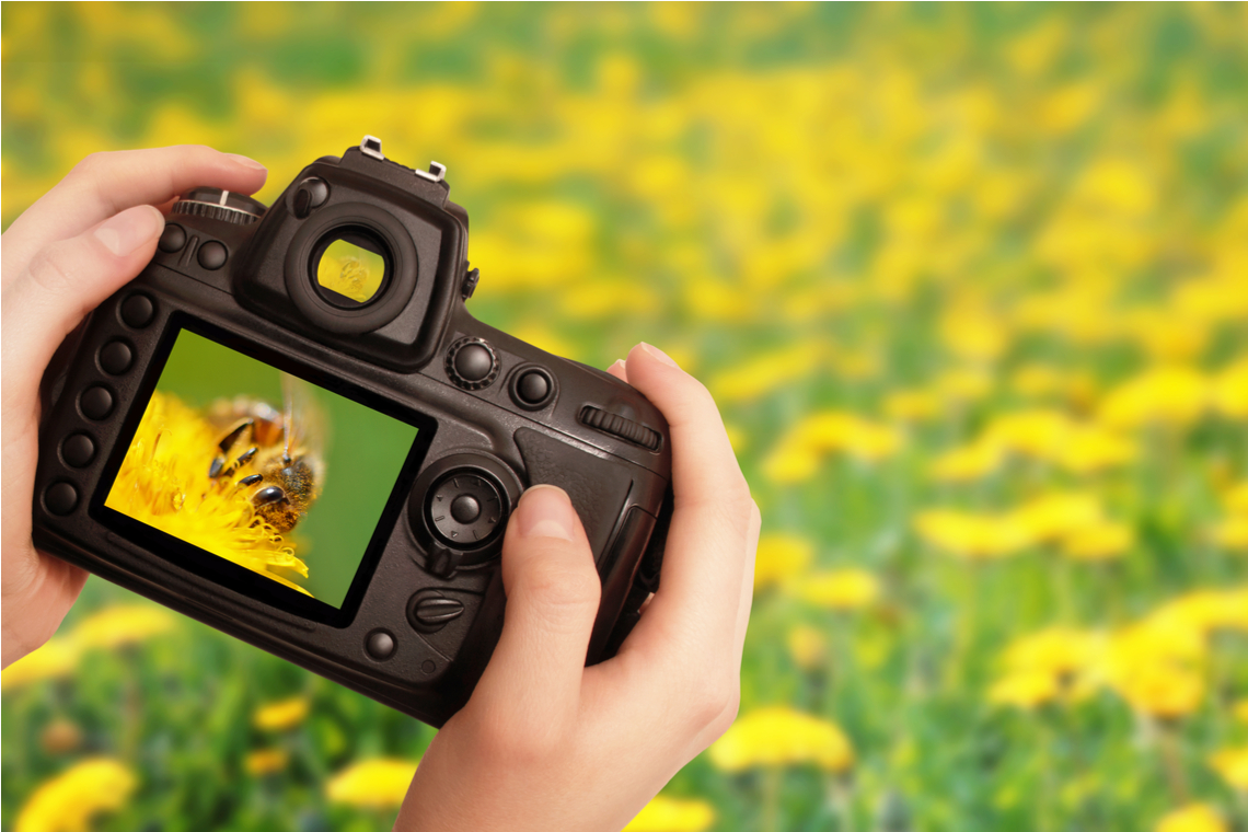 Hand of someone taking pictures of bees in a yellow field